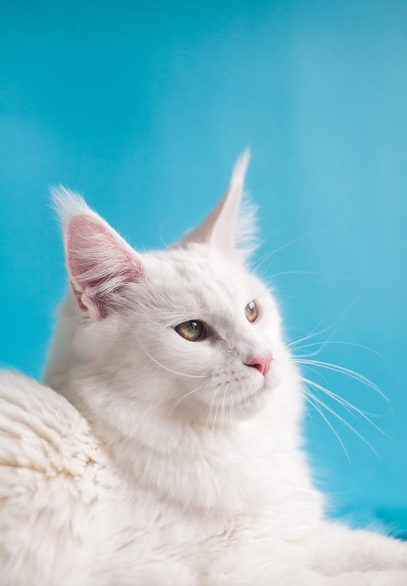 Chat blanc sur un fond bleu