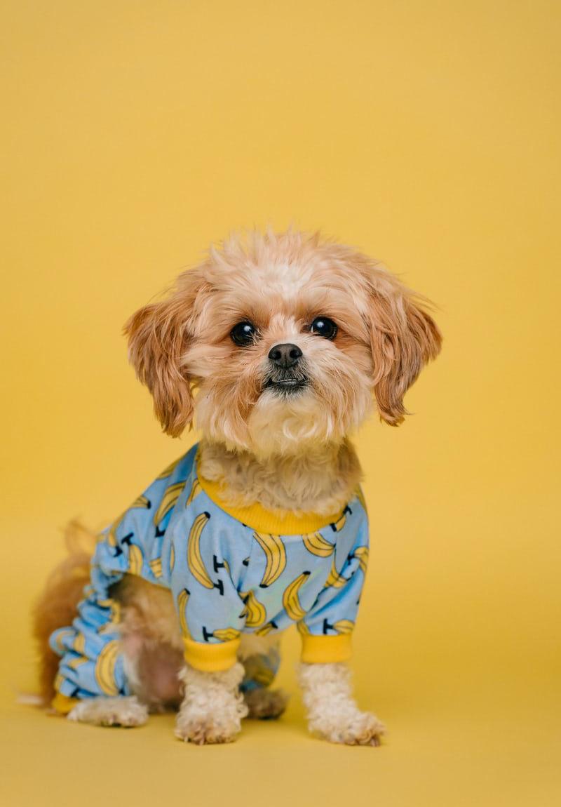 Petit chien sur un fond orange